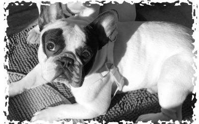 Bulldog Francés – Perros – Antes y después